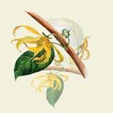 Ylang-ylang. Watercolor painting medicinal, perfumery and cosmetic plants. Branches Wallpaper. Stock Image