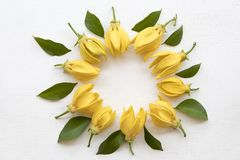 Ylang ylang yellow flowers local flora of asia. Arrangement flat lay circle style on background white royalty free stock images