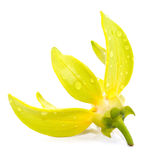 Ylang-Ylangblomma Royaltyfria Bilder