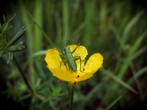 Yllow buttercup with grasshopper Royalty Free Stock Photography