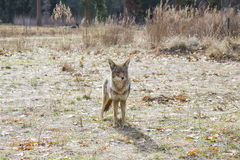 Yo kojot obraz royalty free