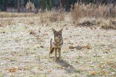 Yo-Kojote Lizenzfreies Stockbild