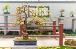 75 yo Pomegranate bonsai Stock Photo