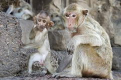 Yod Prang Sam Tempel lopburi Thailand-Affe-Tempel Asien Lizenzfreie Stockfotografie
