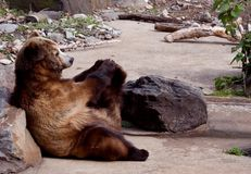 Yoga bear Royalty Free Stock Photo