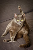 Yoga cat. Russian blue cute cat portrait Stock Image