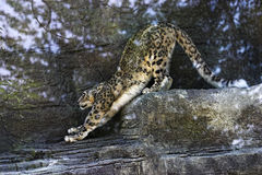 Yoga for cats... Snow leopard having a good stretch stock photo