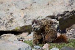 Yoga de la marmota Imagenes de archivo