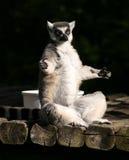 Yoga del Lemur Fotografía de archivo