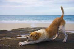 Yoga dog on the beach stock images
