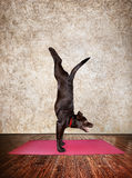 Yoga dog. Doing handstand pose on red yoga mat in yoga hall