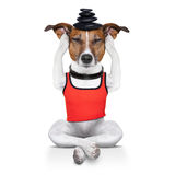 Yoga dog Stock Images