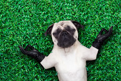 Yoga dog. Pug dog yoga meditating on grass or meadow in the park with closed eyes Royalty Free Stock Photos