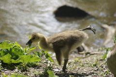 Yoga Gosling. Close up of Canada Goose Gosling in yoga like pose in spring with water background Royalty Free Stock Images