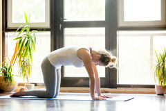 Yoga at home: Cat Pose. Full length portrait of attractive young woman working out at home in living room, doing yoga or pilates exercise on mat. Cat Pose Stock Images