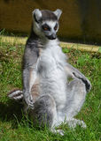 Yoga Lemur Royalty Free Stock Images