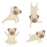 Yoga pugs Stock Photos