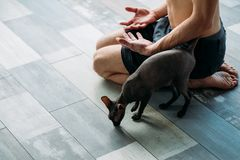 Yoga training companion gym workout owner cat. Friendly yoga training companion. sphynx cat and his owner relaxing together after gym workout. physical exercises stock photography