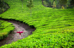 Yoga warrior pose in tea plantations Royalty Free Stock Image
