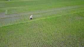 Aerial scenery of farmer working on paddy fields. Yogyakarta, Indonesia. August 07, 2017: Beautiful aerial scenery footage of a male farmer working on paddy stock video