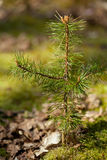 Yoing twig of tree pine in forest Royalty Free Stock Photo