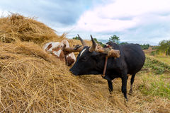 Yoke of oxen Royalty Free Stock Images