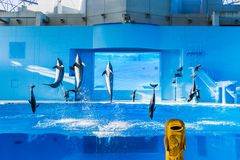 YOKOHAMA,JAPAN MARCH 13,2019 Dolphins jumping in the air at Hakkeijima Sea Paradise. Show with three trainers at the background stock image