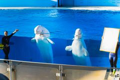 YOKOHAMA,JAPAN MARCH 13,2019 Two Beluga whales at Hakkeijima Sea Paradise Show. Stadium semi outdoor stage with a woman trainer introducing to the audiences royalty free stock image