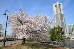 Yokohama Landmark Tower and the cherry blossoms Royalty Free Stock Photography