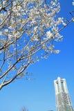 Yokohama landmark tower and cherry blossoms in Kanagawa Royalty Free Stock Image