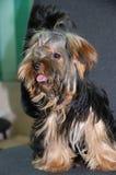 yokshirsky terrier Royaltyfri Foto
