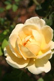 Yollew Rose : Soin et amour Images libres de droits