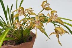Yollow-Orchidee Stockfoto