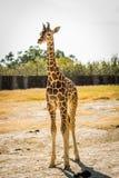 Yong baby giraffe. Looking at the camera stock photography