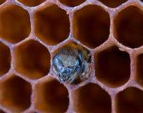 Yong bee. Inside honeycomb. Close up Stock Image