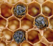 Yong bees. Inside honeycomb. Close up Stock Photo