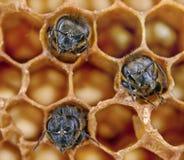 Yong bees Stock Photo