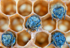 Yong bees. Inside honeycomb. Close up Royalty Free Stock Photos