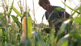 Yong bonde som ollecting havremajskolven på sweetcornfältet av den organiska ecolantgården arkivfilmer