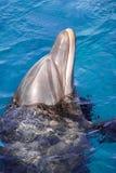 Yong Bottlenose delfin pływa w czerwonym morzu zdjęcie stock