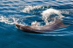 The yong Bottlenose dolphin is swimming in red sea. Near the beach on shellow water Stock Photos