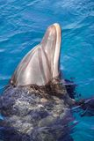 The yong Bottlenose dolphin is swimming in red sea stock photo