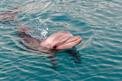 The yong Bottlenose dolphin is swimming in red sea Royalty Free Stock Photography