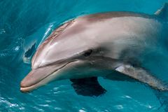 The yong Bottlenose dolphin is swimming in red sea Royalty Free Stock Photos