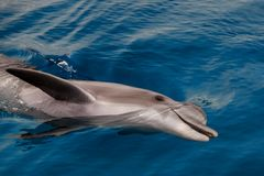 The yong Bottlenose dolphin is swimming in red sea. Near the beach on shellow water Stock Image