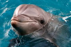 The yong Bottlenose dolphin is swimming in red sea Stock Images