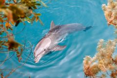 The yong Bottlenose dolphin is swimming in red sea Stock Photography