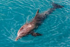 The yong Bottlenose dolphin is swimming in red sea Stock Photos