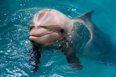The yong Bottlenose dolphin is swimming in red sea Stock Image
