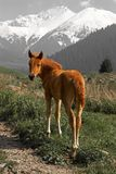 Yong brown foal Royalty Free Stock Photo
